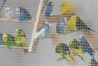 My flock of budgies enjoy the fresh air and the sunshine in their outdoor flight
