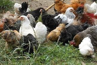 my flock of Pekin Bantam Chickens wanders around the garden scratching in the ground looking for insects