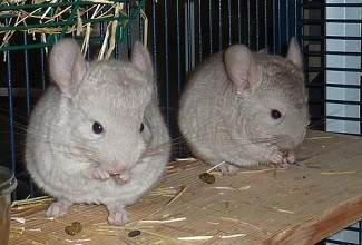 Chinchillas are nimble animals that love to run, jump and climb at night and sleep in the day