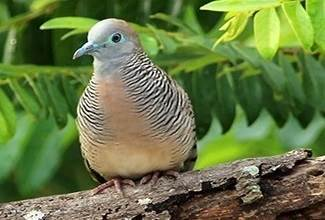 A Zebra Dove calmly resting on a branch, their favourite past time when not scratching on the ground