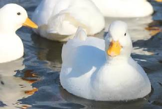 Pekin ducks are handsome birds that lay large white eggs and enjoy the chance to go for a swim regularly