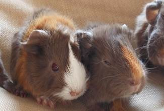 Guinea pigs make wonderful pets for all ages being cute, friendly, and affectionate