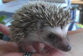 my daughter Tessa holds a young African Pygmy Hedgehog that I bred