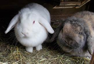 Mini lop rabbits with their hanging ears are beautiful animals with strong personalities