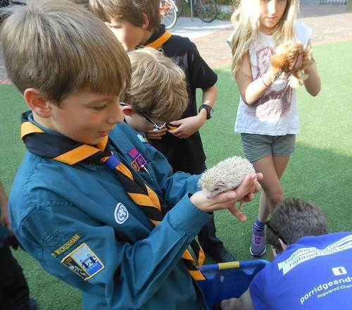 Twickenham cubs hold and meet a baby African Pygmy hedgehog and Pekin bantam chicken