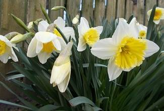 daffodils of all sizes and colours are a part of Spring in the England