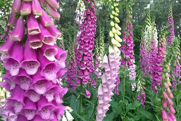 self seeding biennials that produce stems of flowers in a range of shades of purple, lavender and white