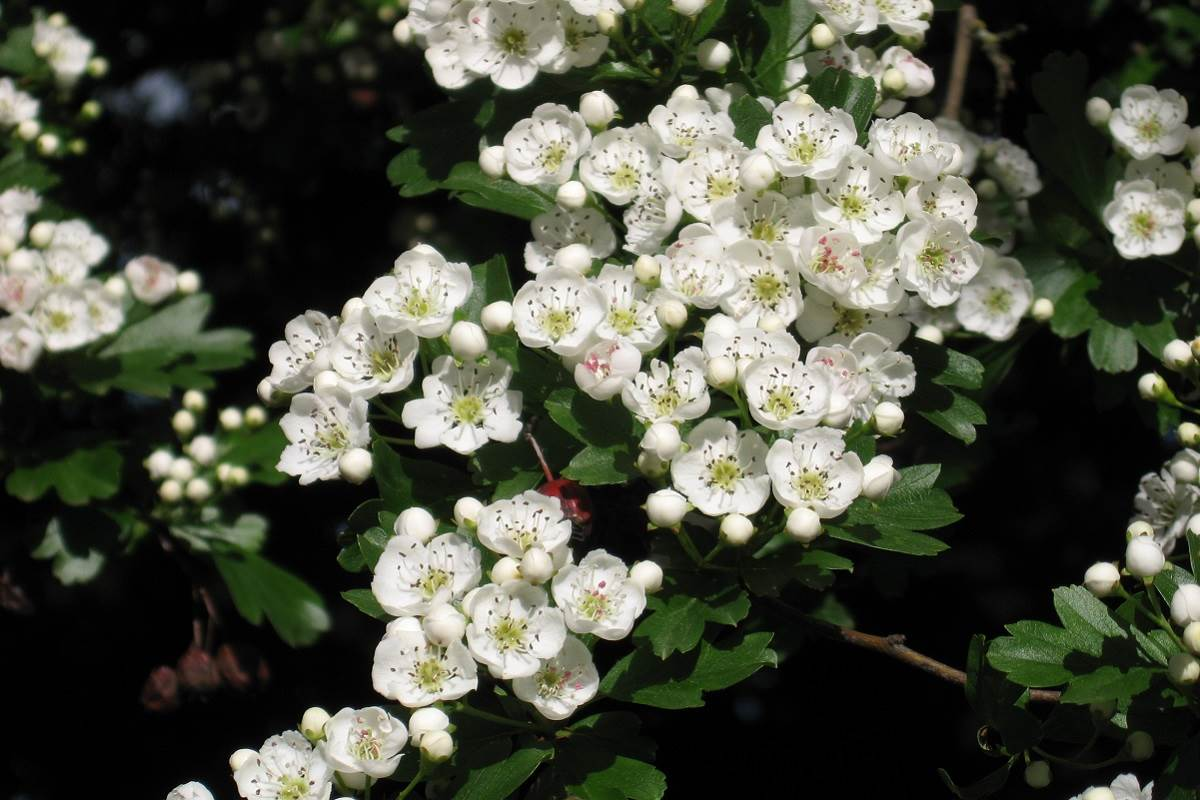 indigenous Hawthorn plants that work well in any garden