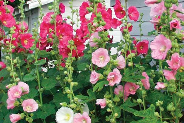 white, pink, red, black hollyhocks, the star of the english garden