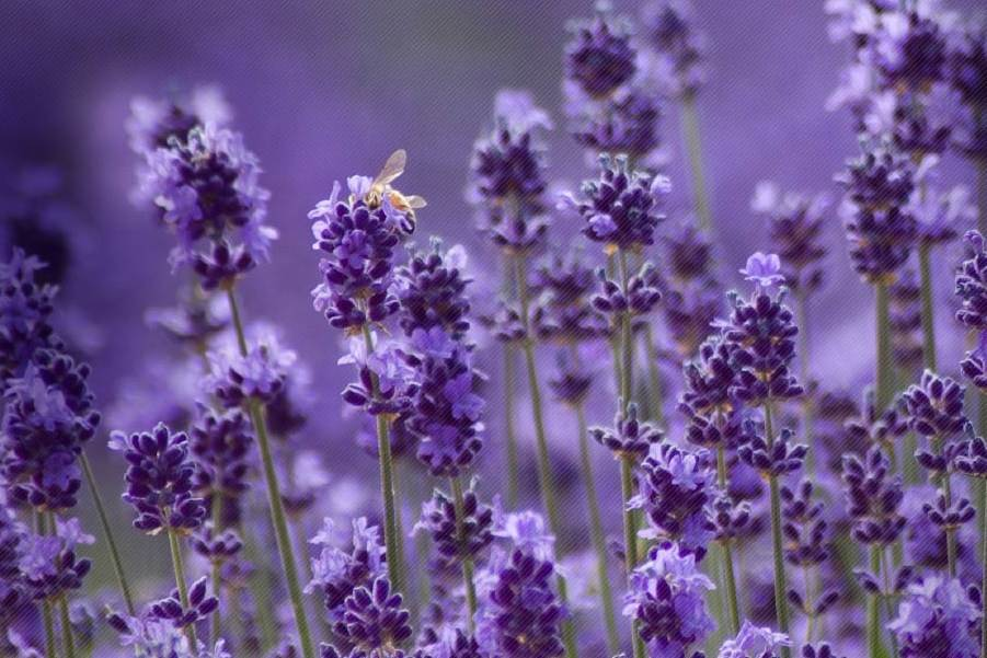 the gorgeous scent of lavender brings colour and fragrance to the garden