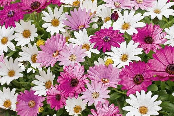 bright daisy-like flowers in white, blue and purple, a perennial creeper