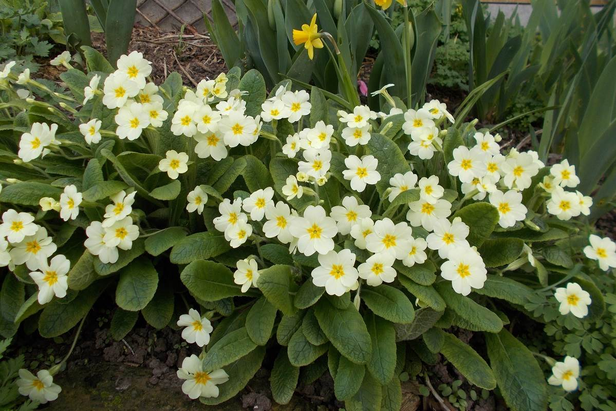 the wild primrose with is bright yellow flowers