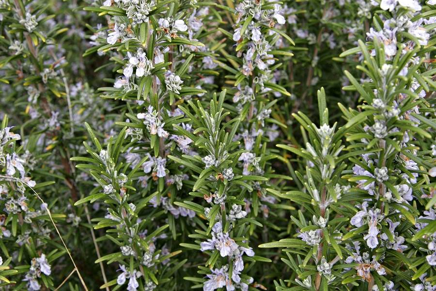 A handsome bush, rosemary adds flavour to meals