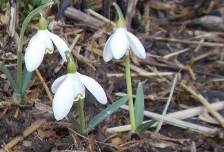 the white indigenous snowdrop blooms heralding the end of the winter months and the beginning of spring